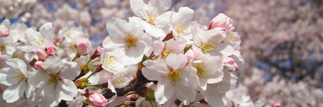 桜に魅了される理由