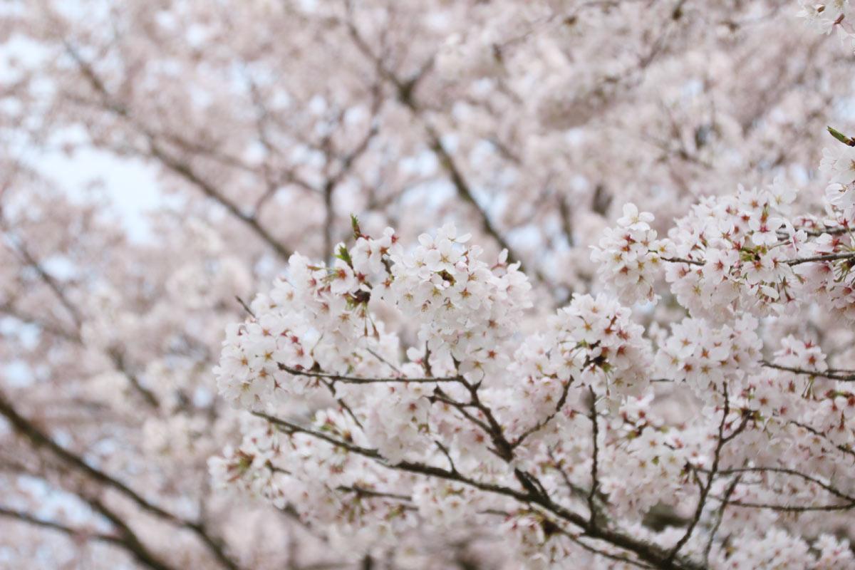 広場にある桜