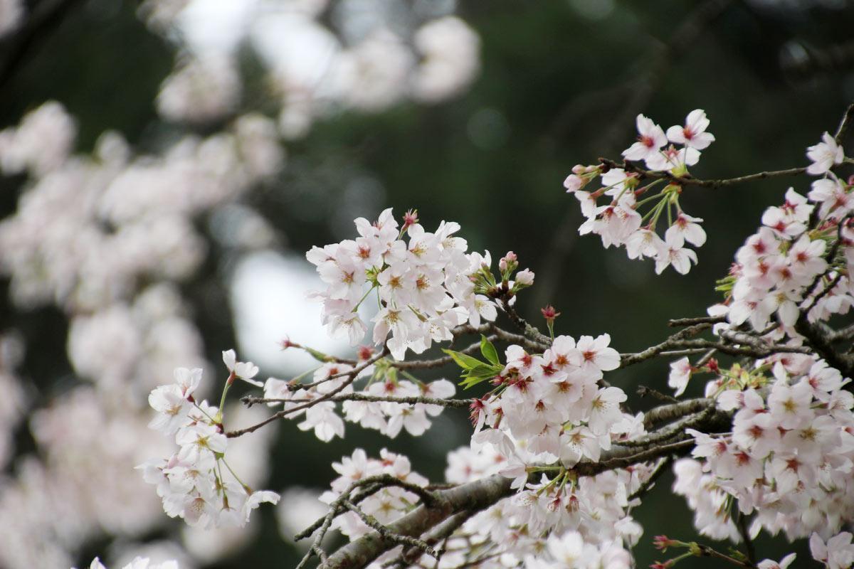 緑と桜のコンビネーション