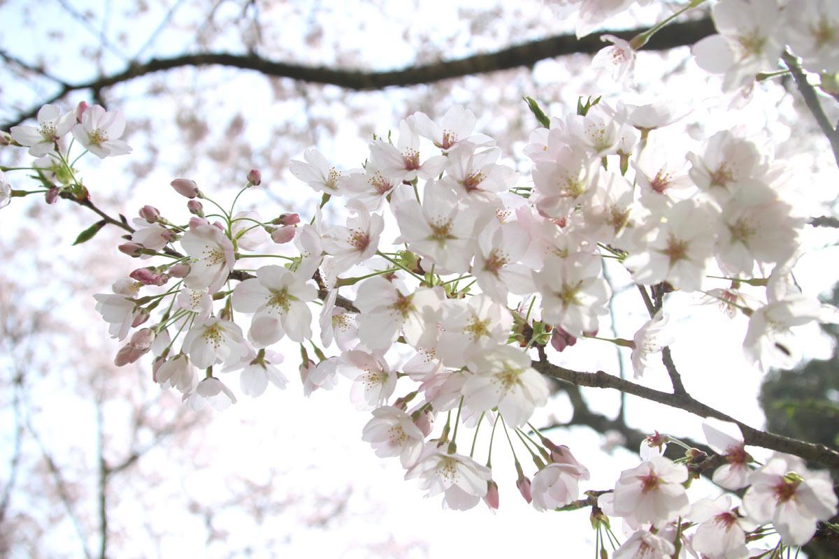 桜の明るい感じが好き