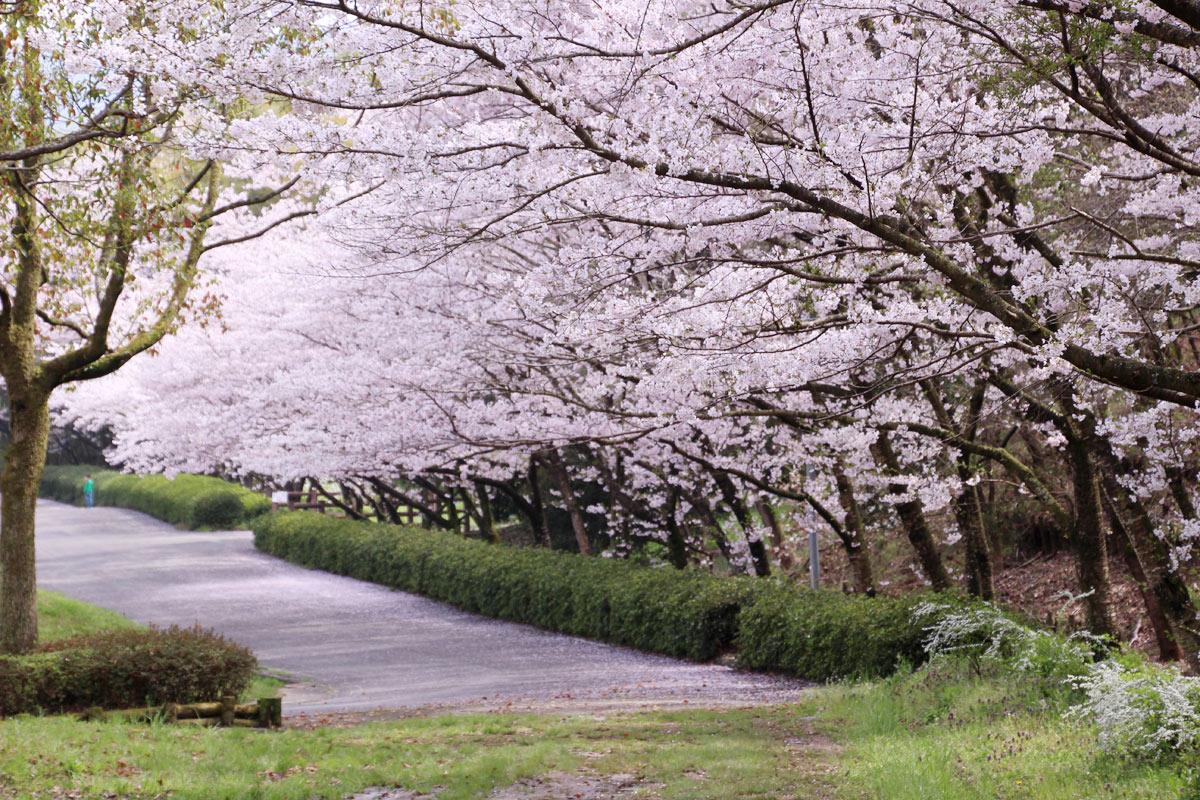 桜の花びらじゅうたんもけっこう綺麗