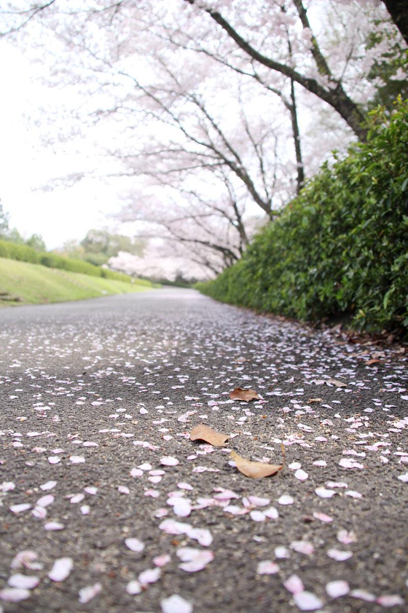 小人から桜を見たらたぶんこんな感じです