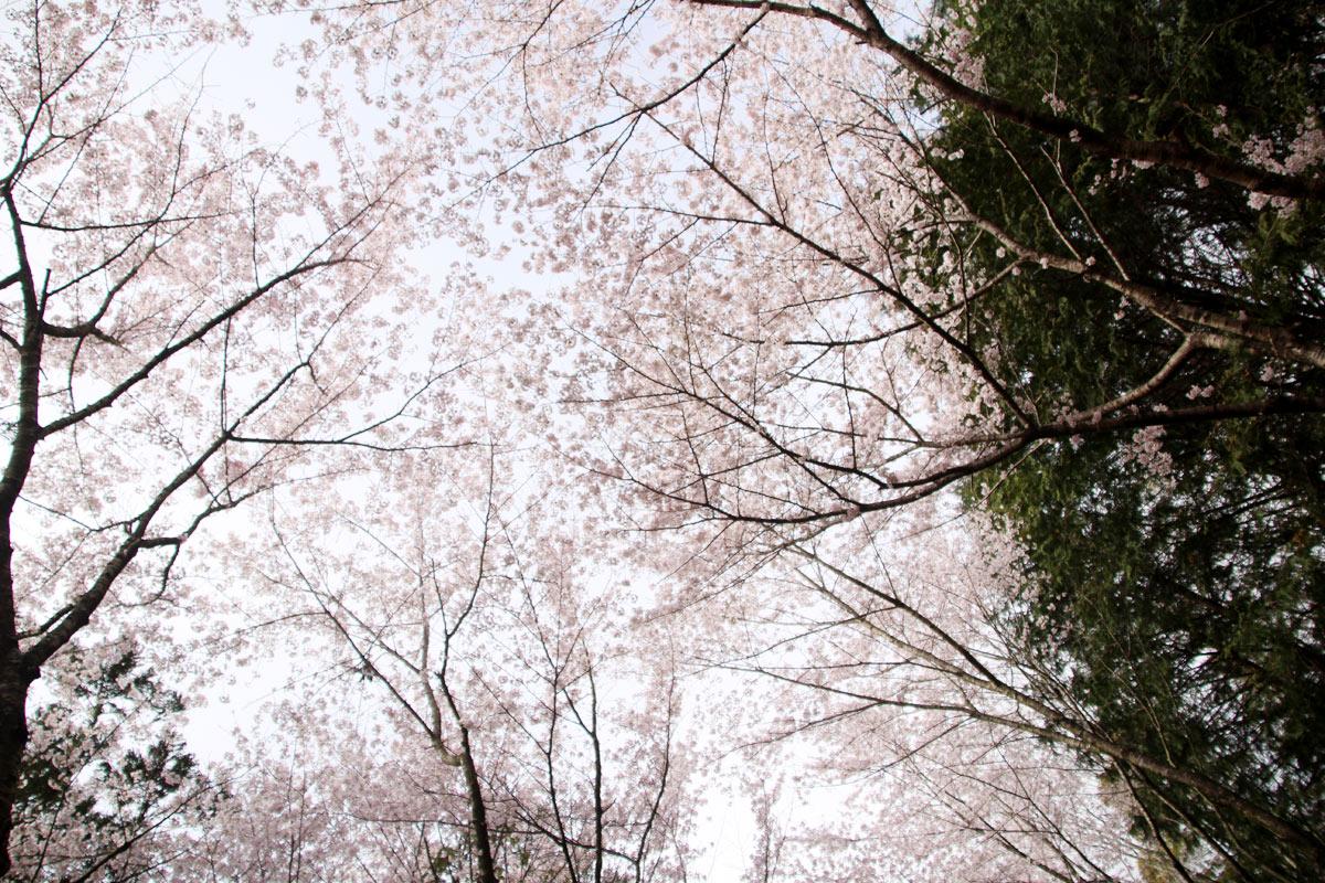 上を見上げると桜に囲まれてます