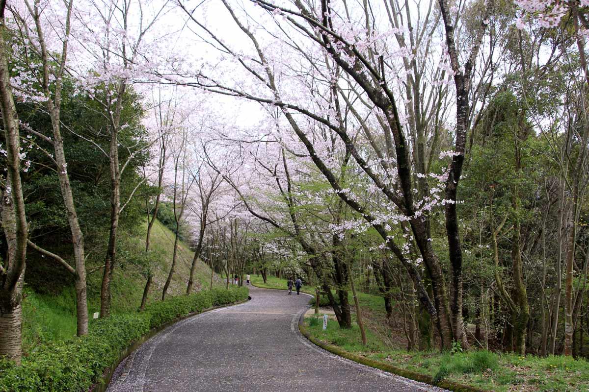 芝生広場に続く坂道も桜通りに