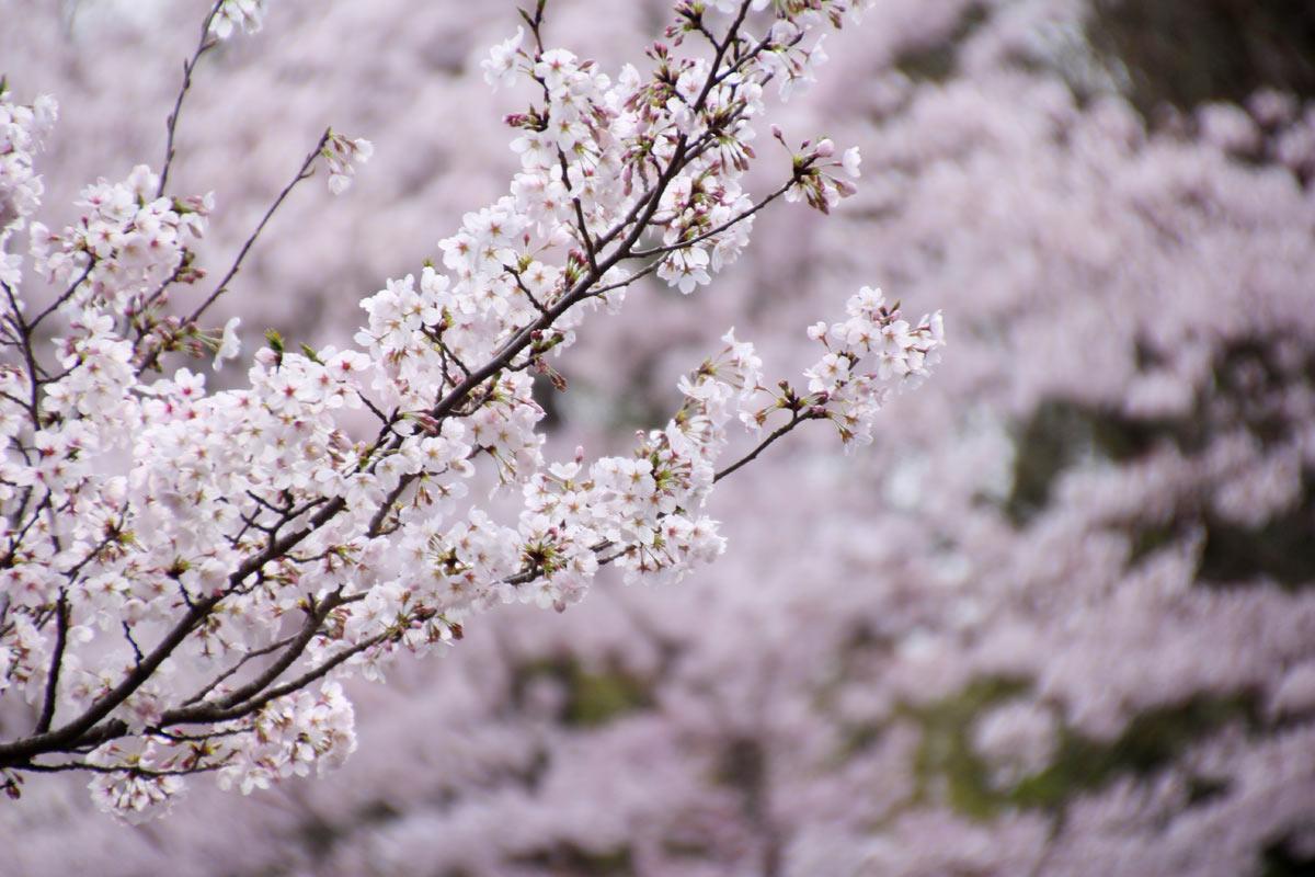 入口前の桜並木の桜