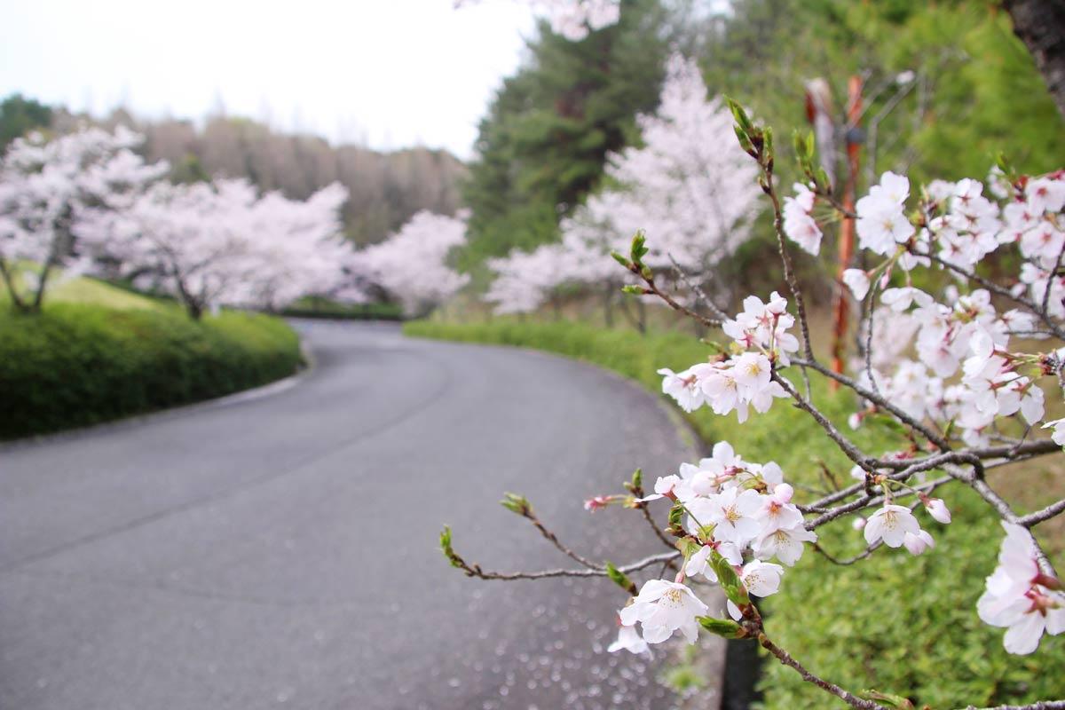 満濃池森林公園に続く桜並木