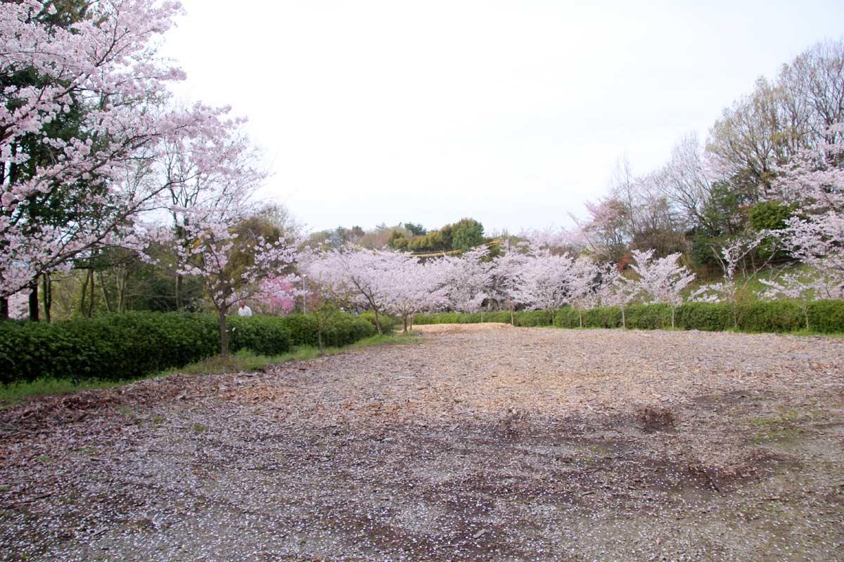 もう飽きるほど桜を見ましたよ