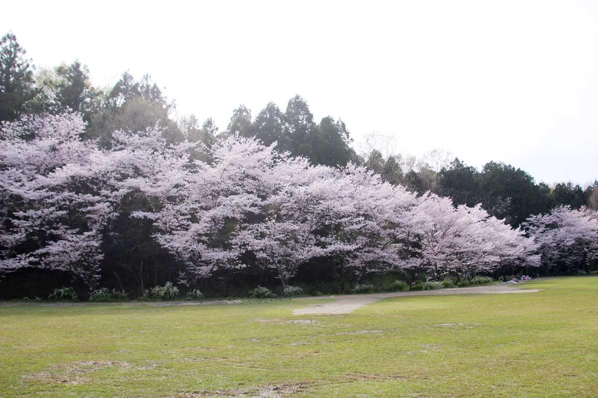 第一運動広場も桜の花でいっぱい