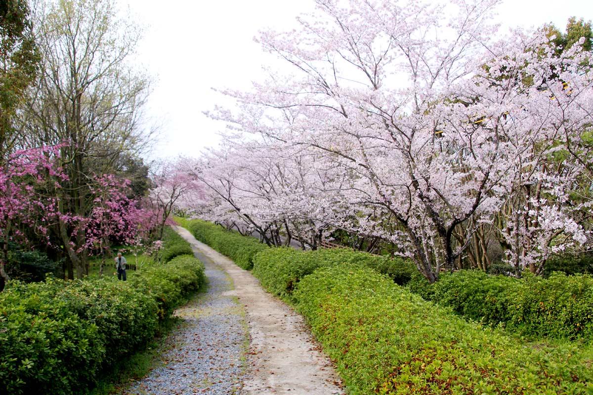 桜の道が芝生広場の上にもある