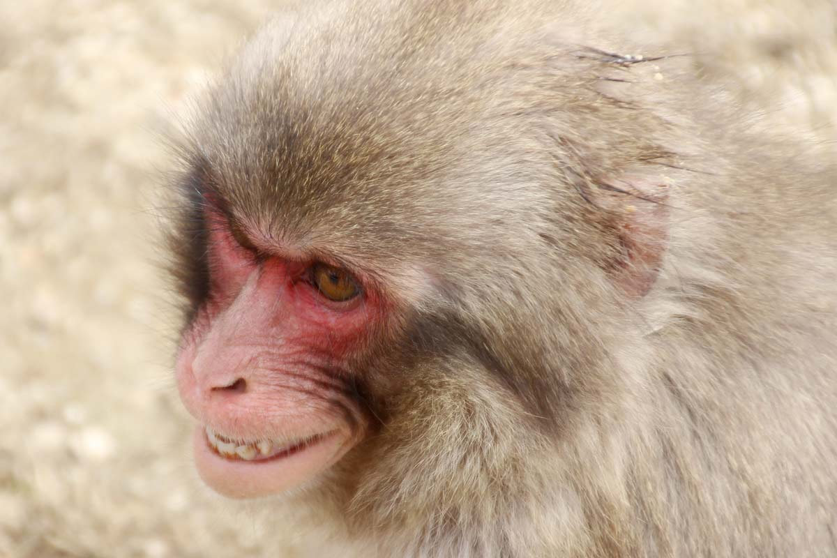 猿がいきりたっている