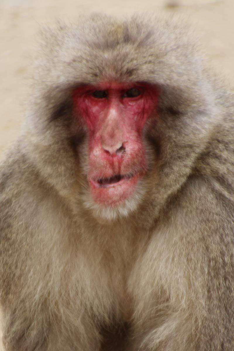 ごつい顔のボス猿っぽい貫禄のある猿