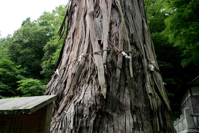 大杉の太さは9.28メートル