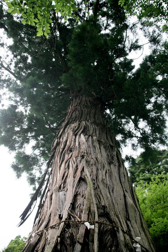 大きな杉の木があるよ!