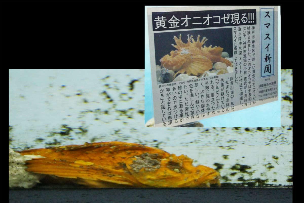 須磨海浜水族園にしかいない黄金オニオコゼ