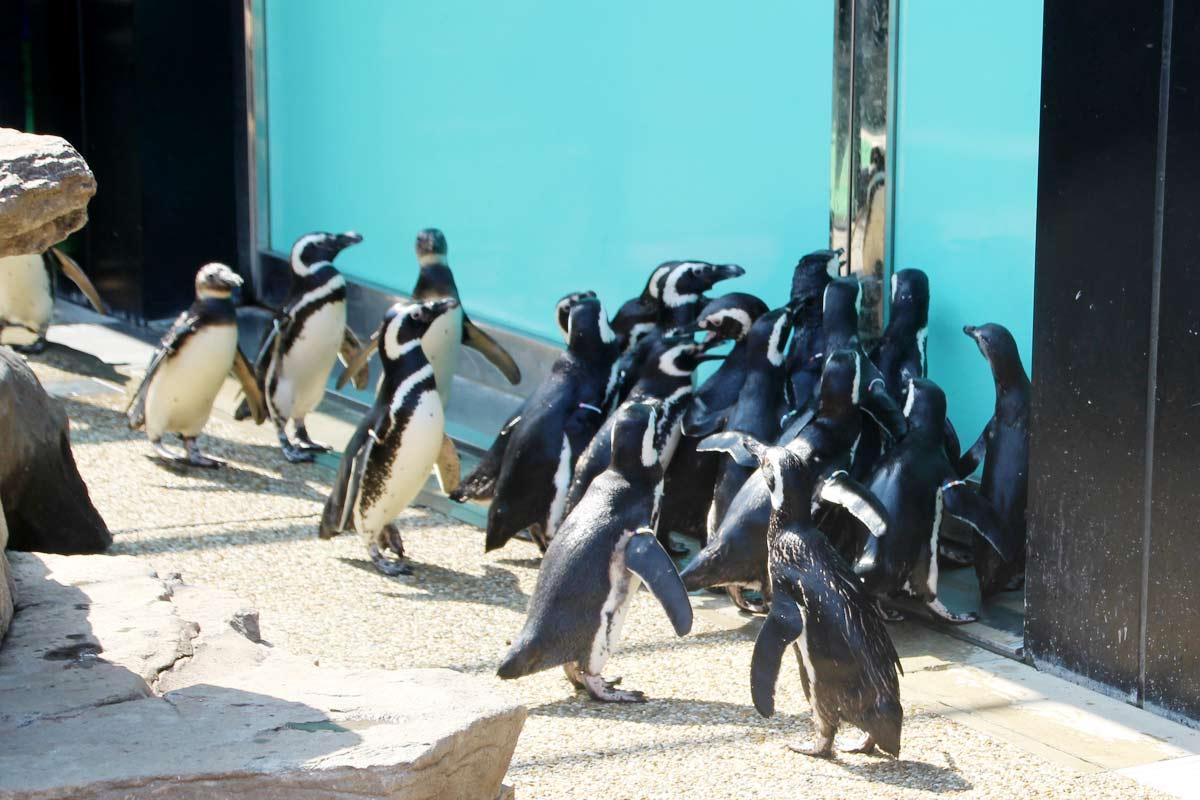 マゼランペンギンがわんさかと!