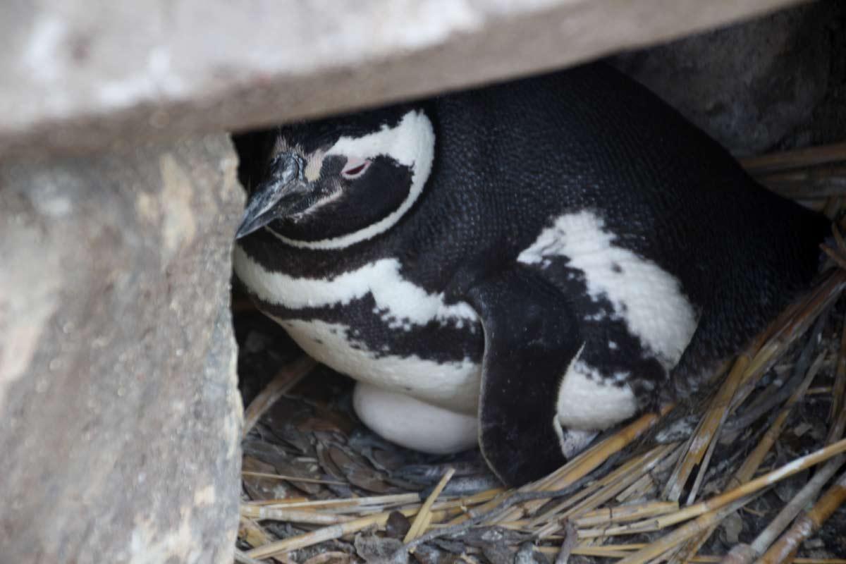 卵を温めているペンギンも近くで見られる!