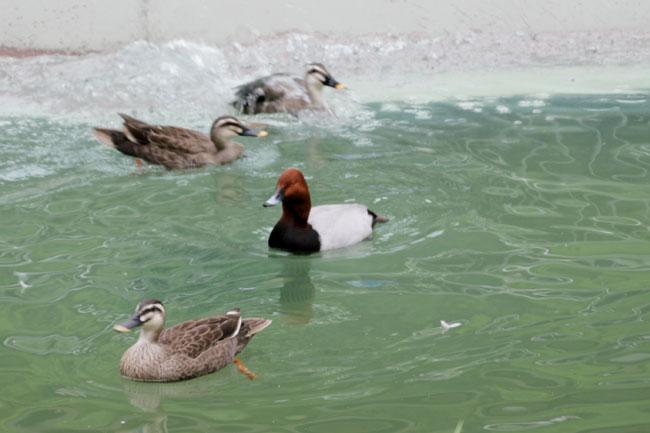カモたちが泳いでいるのを網越しではなく生で見られます