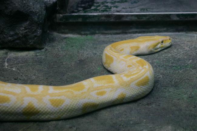 会いたかった白蛇!