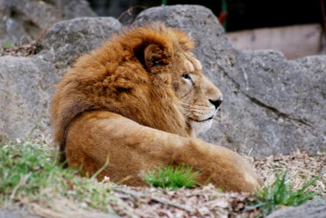 ライオン(2010年の写真ですが)
