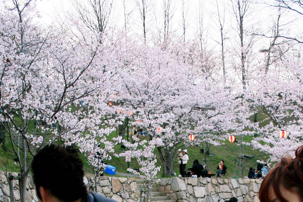 桃陵公園コンコース広場の桜