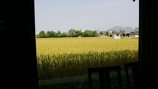 食べるところから麦一面の田んぼ