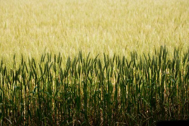私は個人的に麦畑が大好き