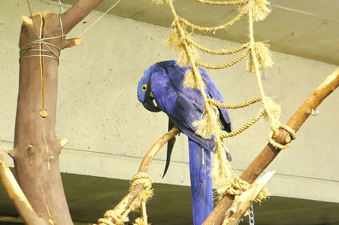 Hyacinth Macaw(スミレコンゴウインコ)