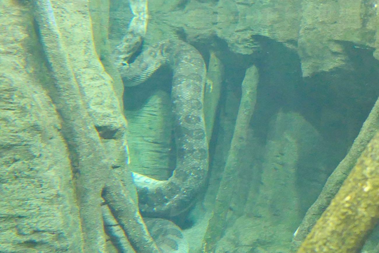 超大きな蛇「アナコンダ」