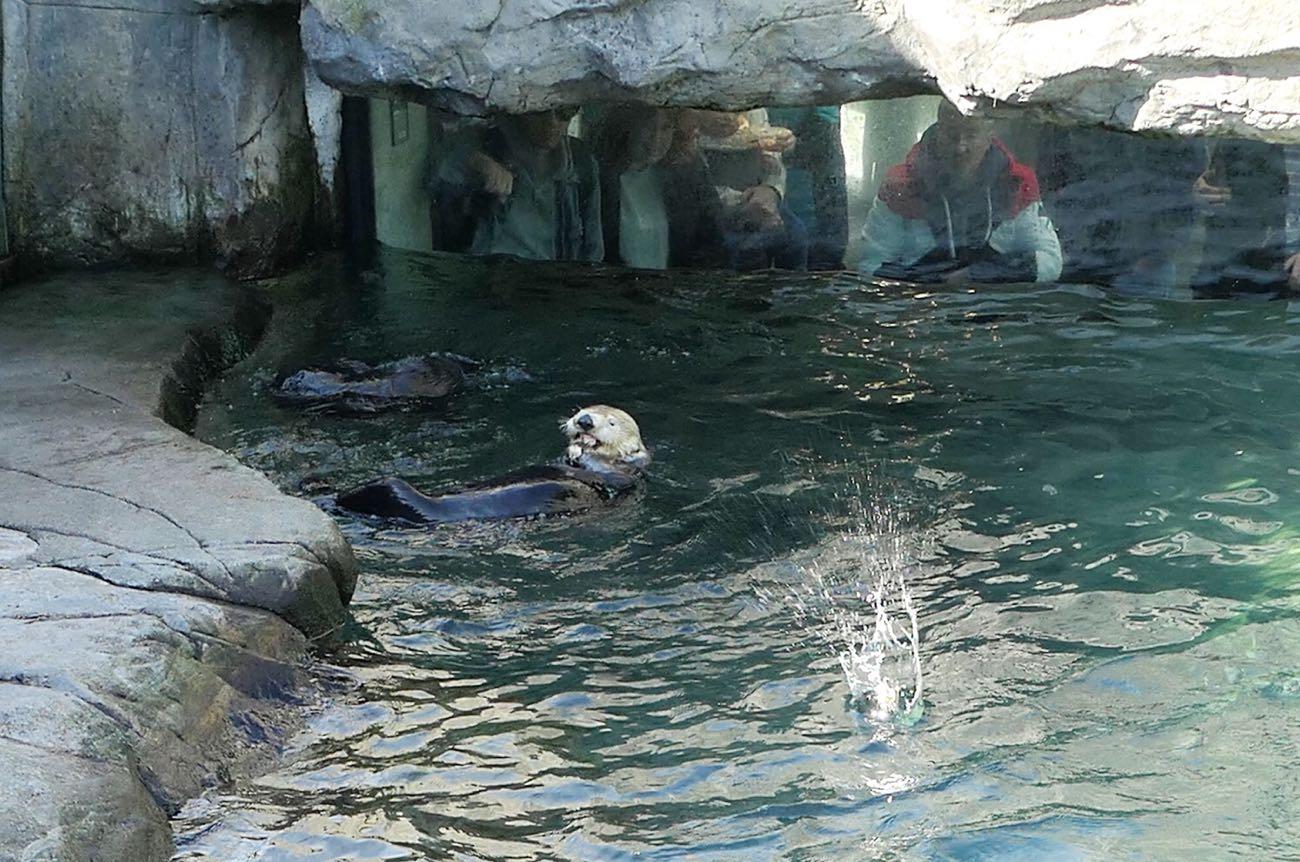 バンクーバー水族館の看板であるラッコ