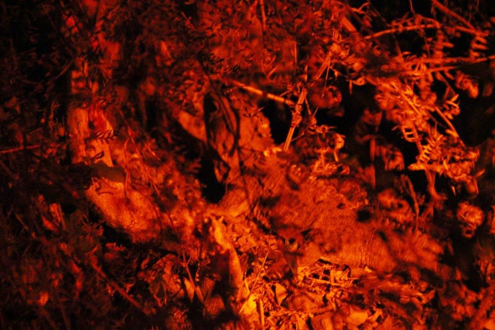 野生の「tuatara(トゥアタラ)」