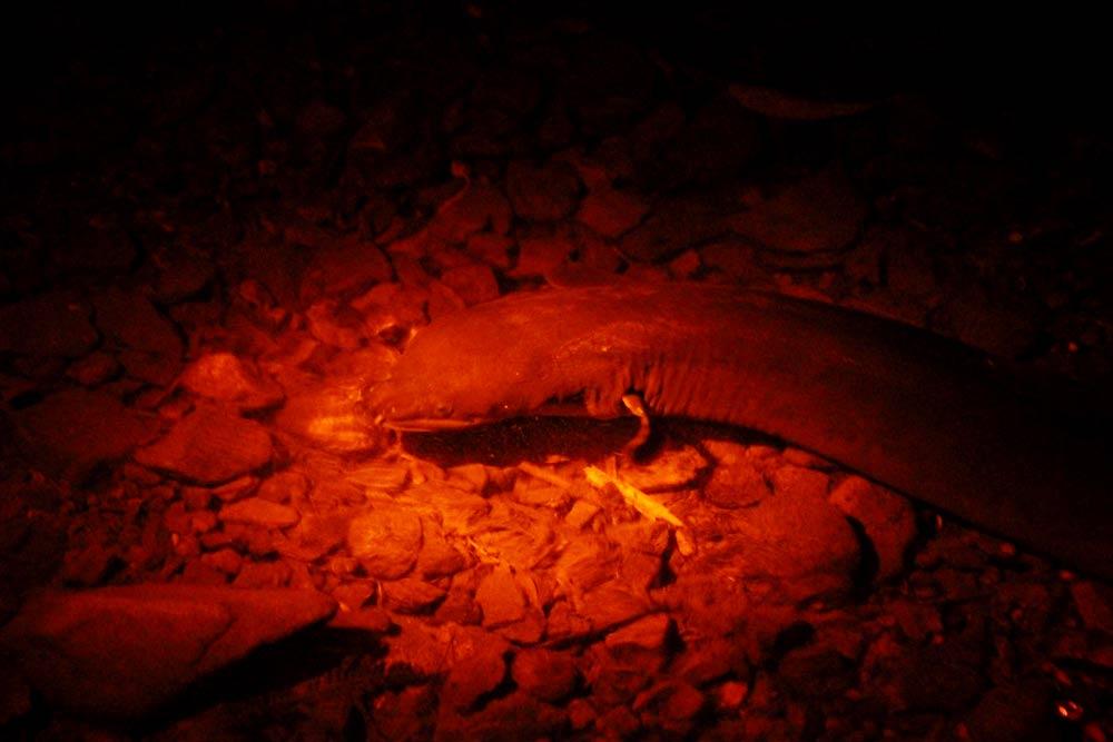 longfin eel(ニュージーランドオオウナギ)