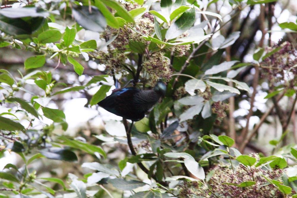 Tui(トゥーイ)という鳥(日本語でエリマキミツスイ)