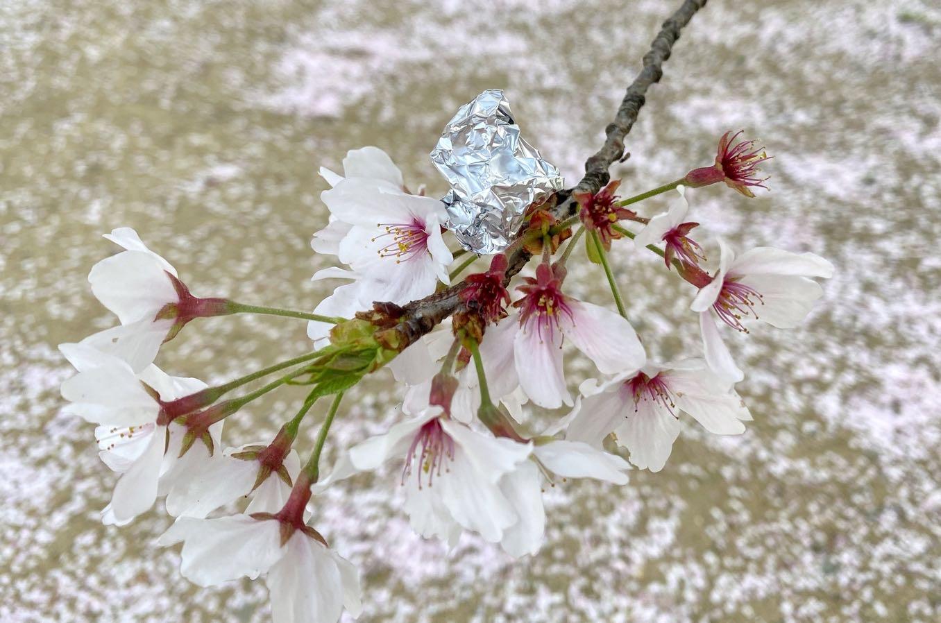 桜の枝にも