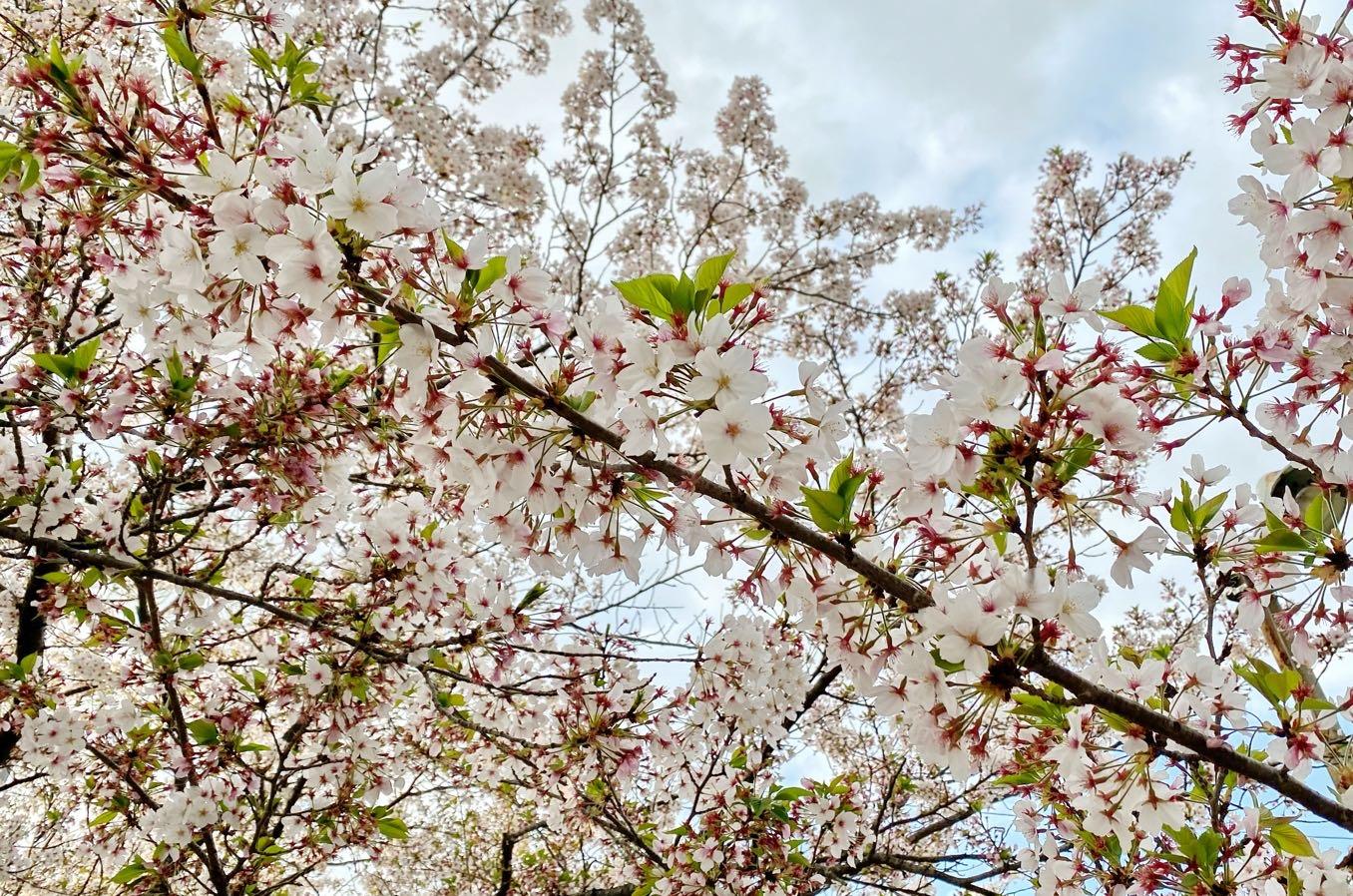 イースターの時期は桜と重なってお花見ができる