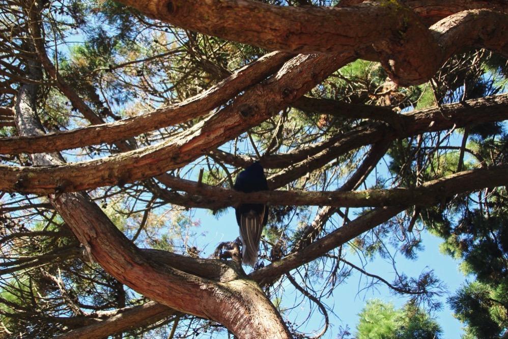 木の上にクジャクが!