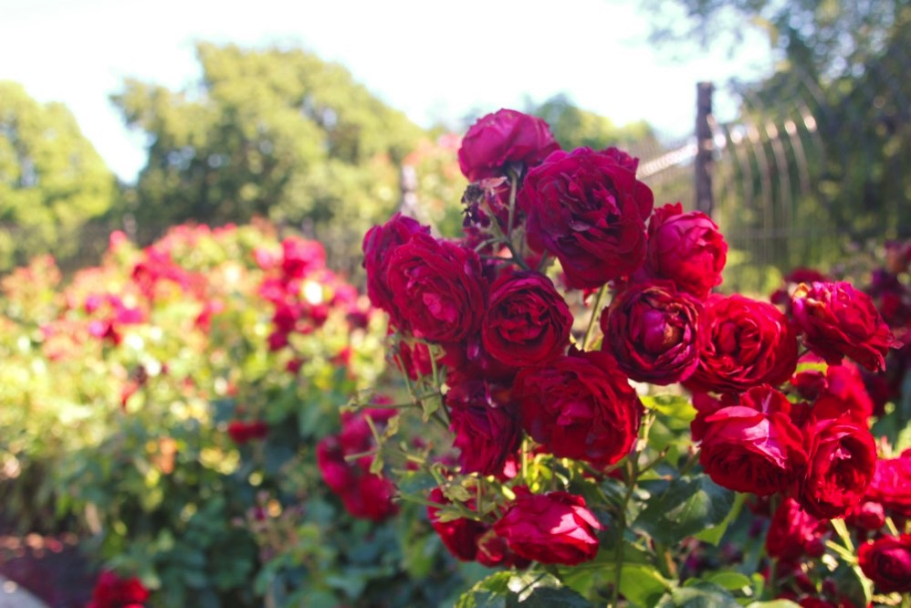 ビーコンヒル内のバラの花