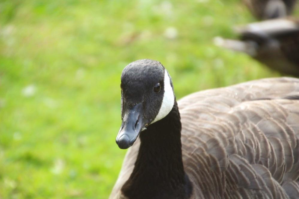 Canada Goose(カナダガン)の顔