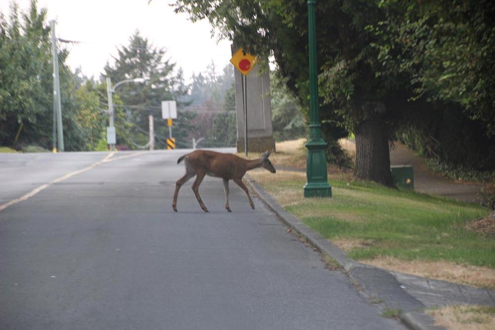 シカがフツーに道路を横断する