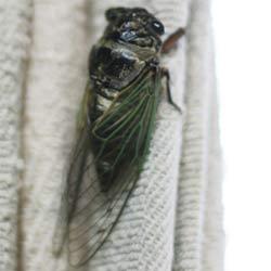 cicada_250