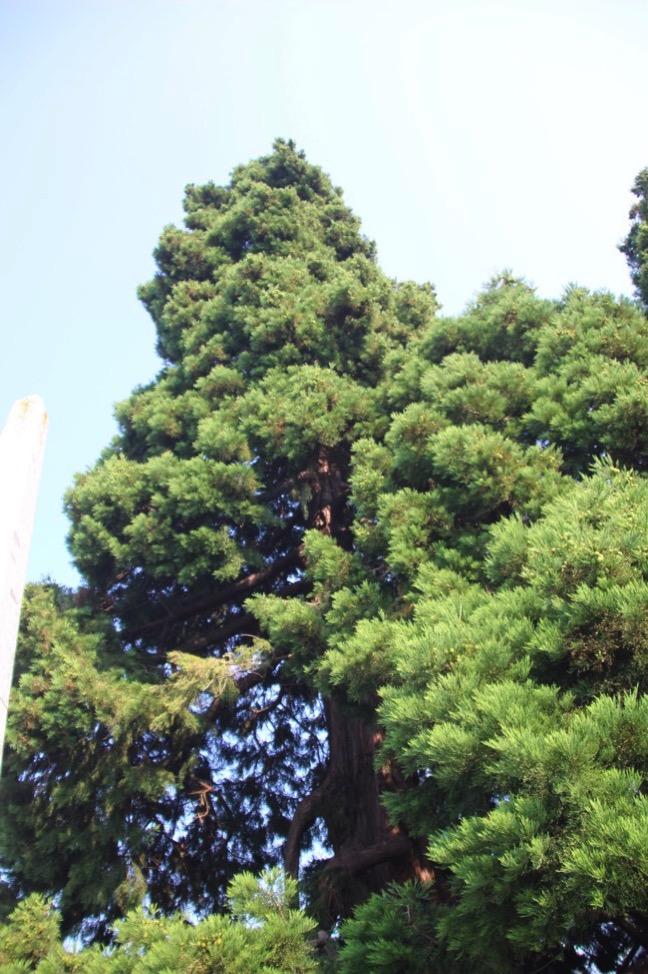 写真では伝わりにくいけど、めっちゃ大きなセコイアの木
