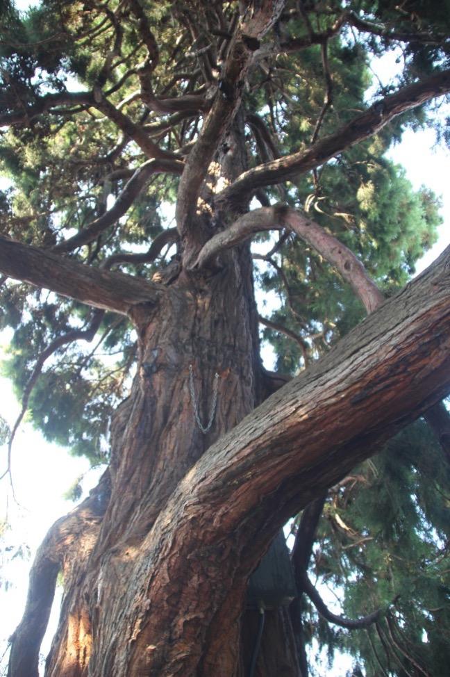 ブリティッシュコロンビア州議事堂前の大きな木