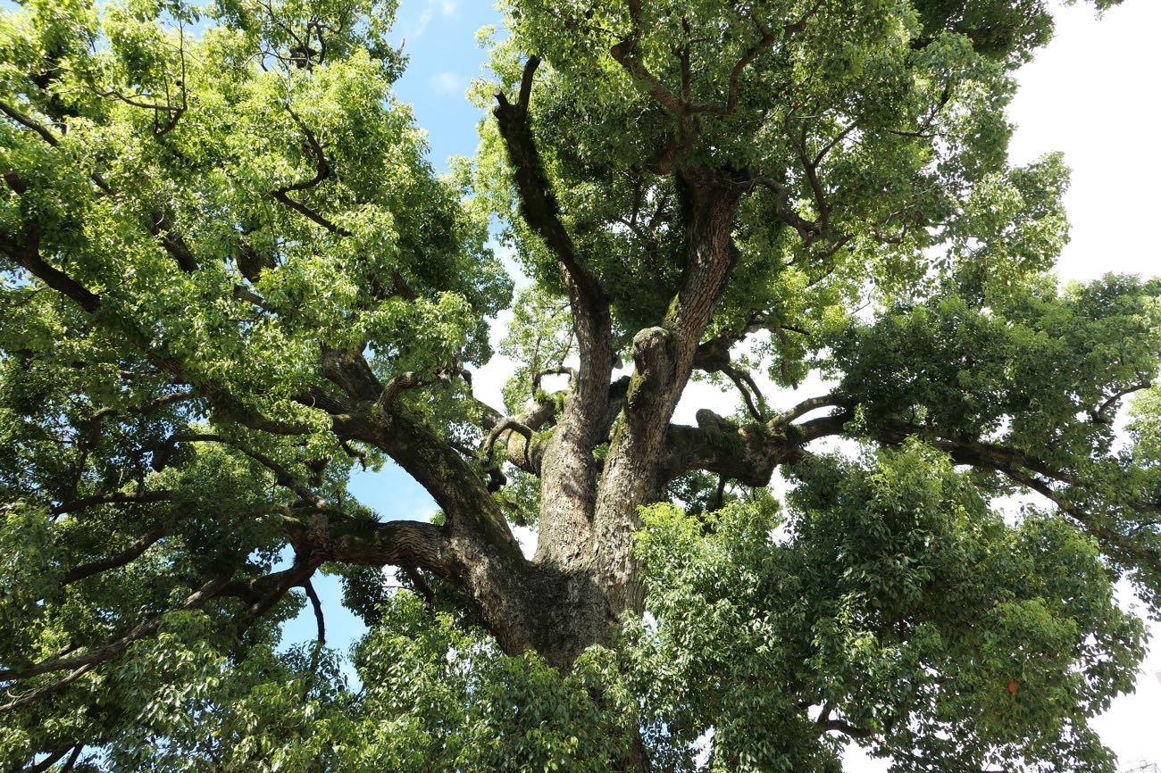 大きな木!