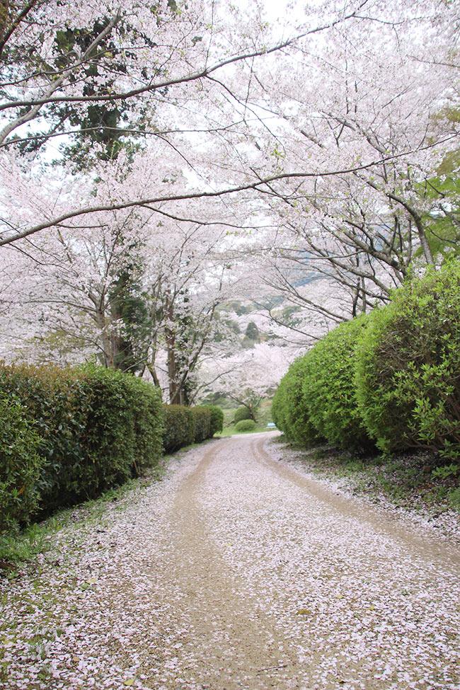 桜の道が続く!