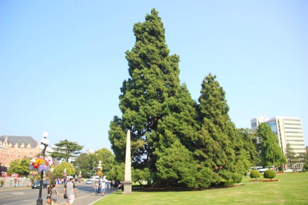 大きなセコイアの木を遠くから撮影
