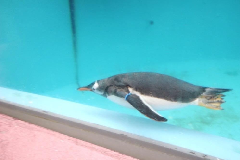 ペンギンが泳いでいる