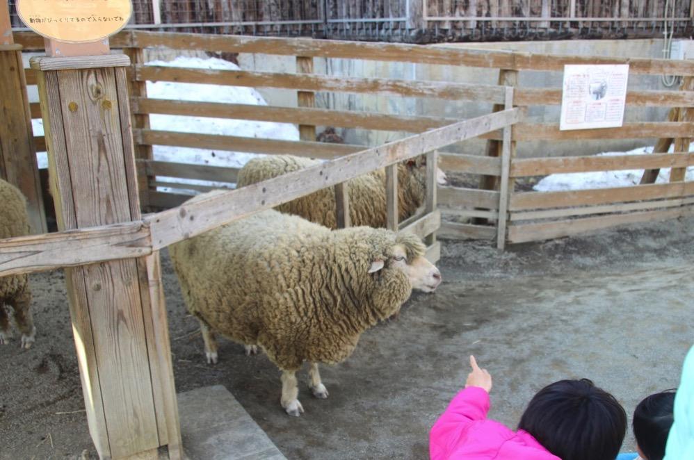 羊さんが野放し