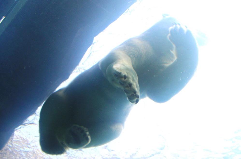 頭上を泳ぐホッキョクグマ