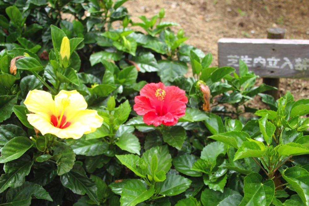 いろんなところにハイビスカスの花が