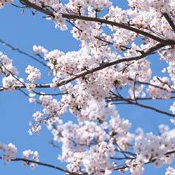 人々が桜の花に惹かれる6つの理由