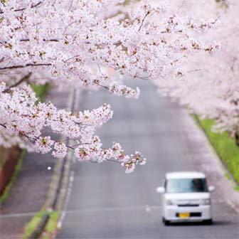 [香川]満濃池森林公園でお花見! 坂沿いの桜が見ものです